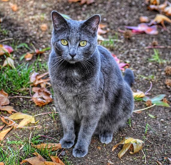 cat russian blue fall feline pose portrait smokey photo