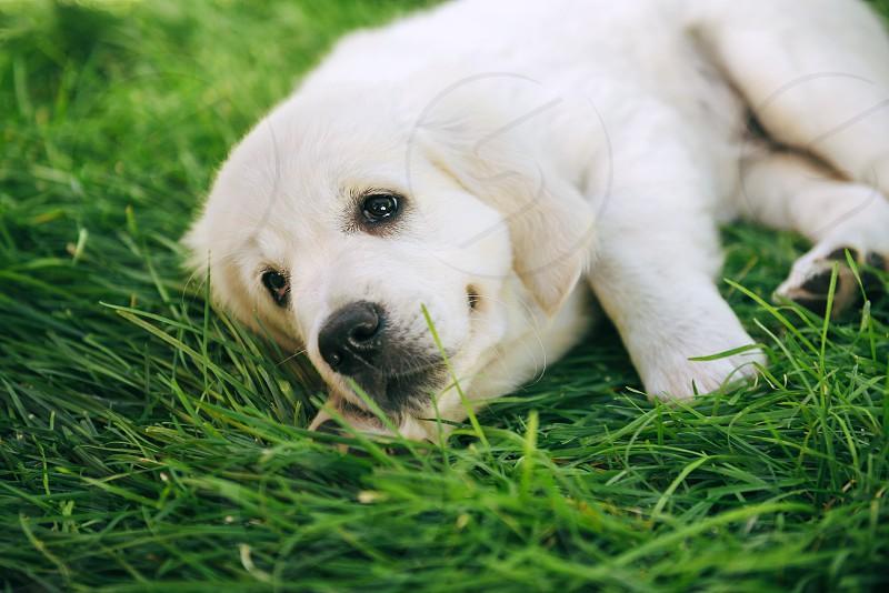 Golden retriever puppy laying on long green grass photo