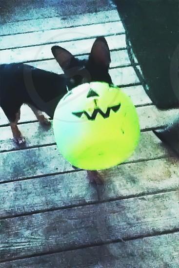 Dog• trick or treat photo