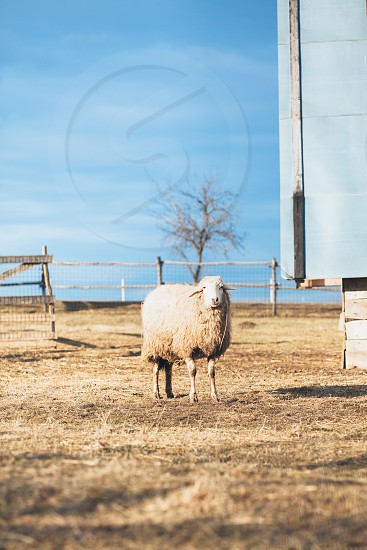 Sheep on the rural countryside landscape photo