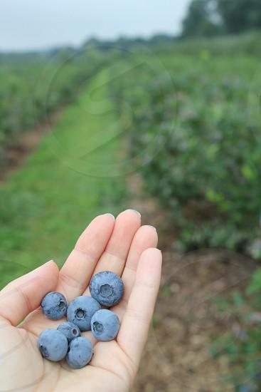 blueberries blueberries in hand farm  photo