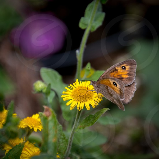 Meadow Brown Butterfly (Maniola jurtina) feeding on a Common Fleabane (Pulicaria dysenterica) flowering near Ardingly Reservoir in Sussex photo