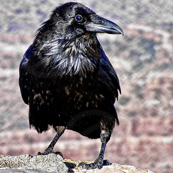 Close-up of a black crow with shiny black feathers photo