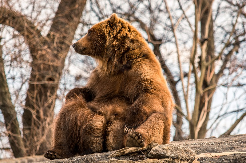 Bear brown grizzly sitting relaxed chill animal  photo