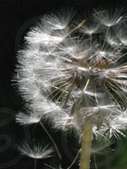 Closeup of dandelion puff against black background photo