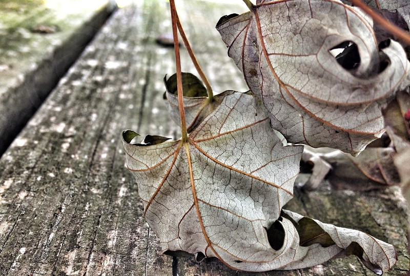 grey leaves photo