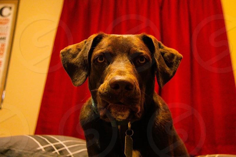 Jackson the chocolate lab guard dog photo