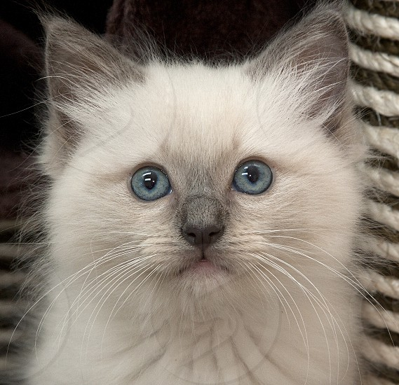 Close-up of white fluffy kitten with piercing blue eyes and grey ears and nose. photo