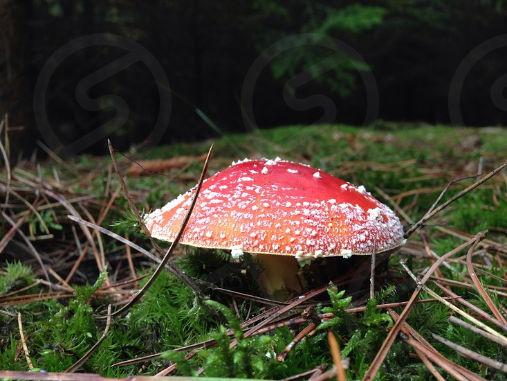red wild mushroom photo