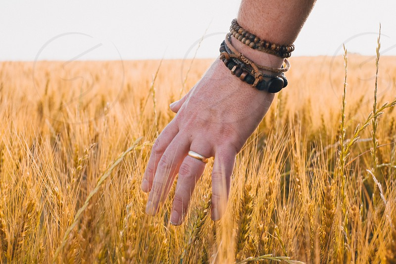 Hand in wheat field. photo