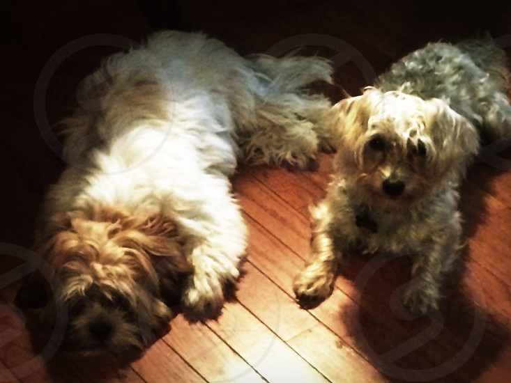 two long-coated brown dogs laying on brown floor photo