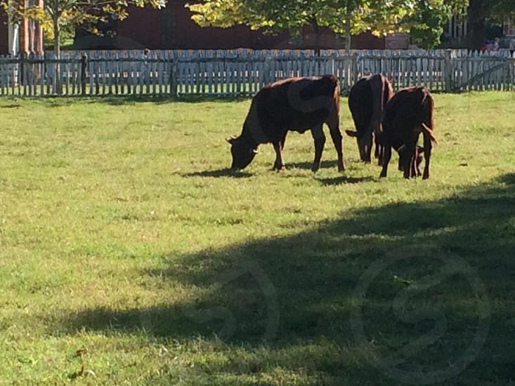 Cows in Pasture at Colonial Williamsburg photo