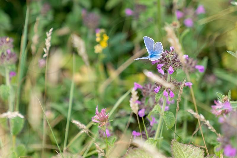 Adonis Blue Butterfly (Polyommatus bellargus) feeding on a pink flower photo