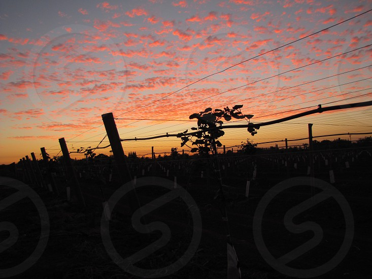 Vineyards with sunset coloring the sky Reedley CA. Farming Vineyards Central Valley Sunset. photo