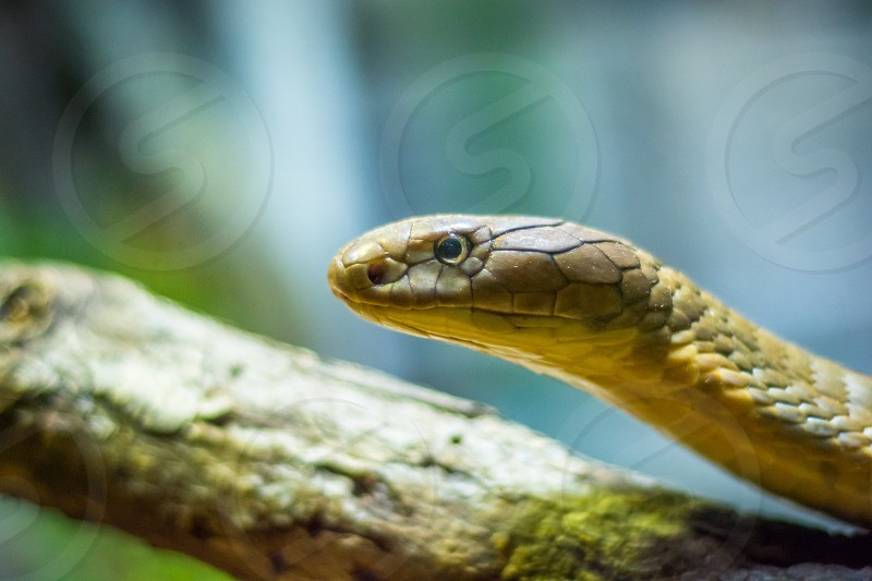 Snake cobra reptile cold blooded scales slithering portrait  photo