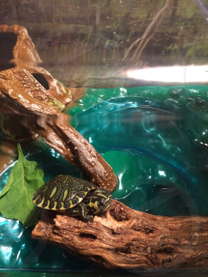 Pet Turtle Yellow Belly Slider Turtle By Darren Edmonds Photo Stock Snapwire