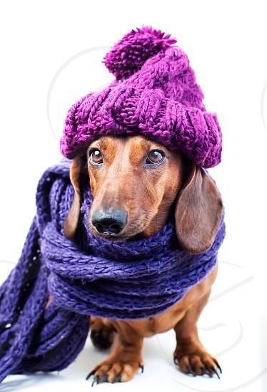 Cute dog in purple hat winter autumn warm pet dog happy smart stylish dress  photo