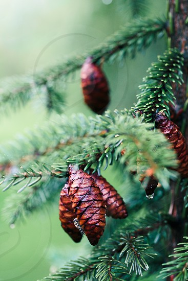 Pine cones and twigs evergreen plant rain drop. Wet tree after raining. Natural environment sustainability. Copy space room for text at top photo
