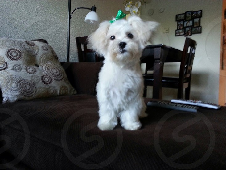 Our Maltese CoCo :) photo