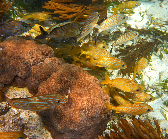 Mesoamerican barrier Great Mayan Reef grunt fishes in Riviera Maya Mexico photo