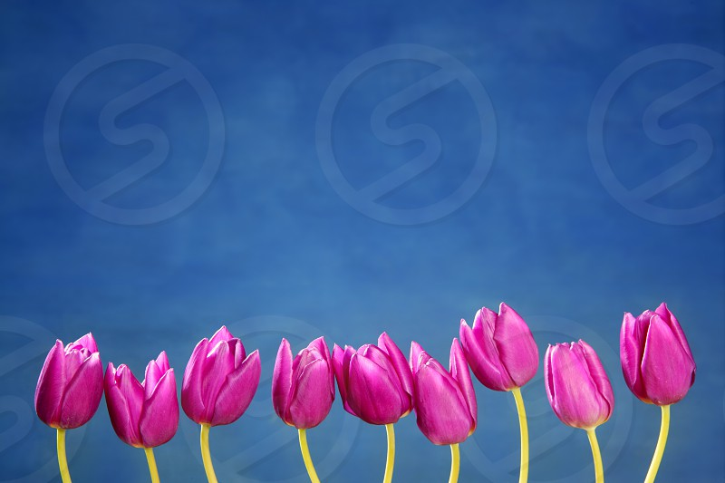 pink tulips flowers in a row group line arrangement on blue background photo