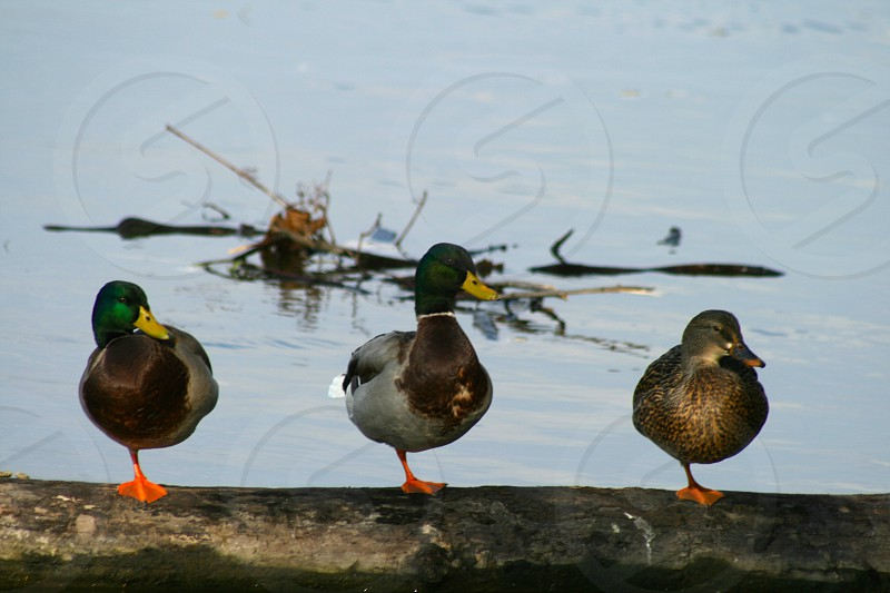 Duck Duck Duck ..... photo