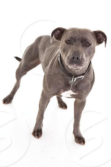 black pit bull photo