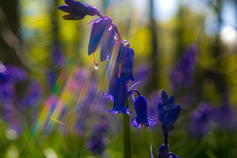 Blue bluebell sunlight colour light flare woodland spring delicate  photo