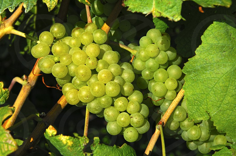 grapes vine vineyard viticulture photo