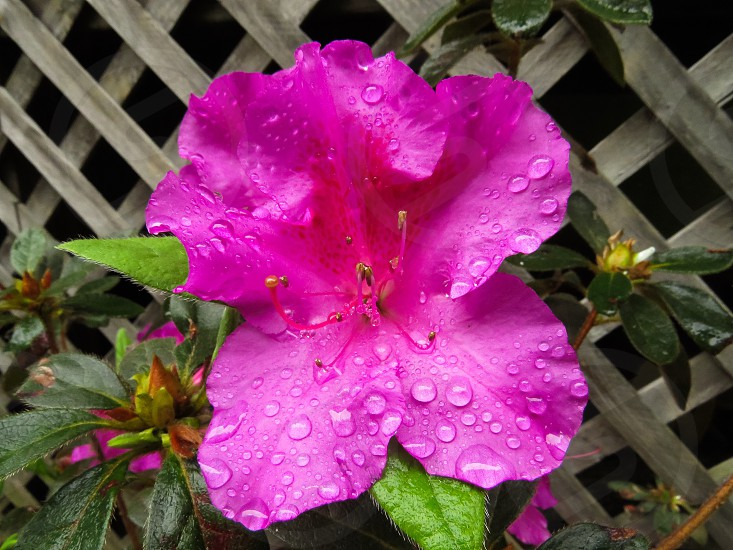 Azaleas dewdrops after the rain nature photo