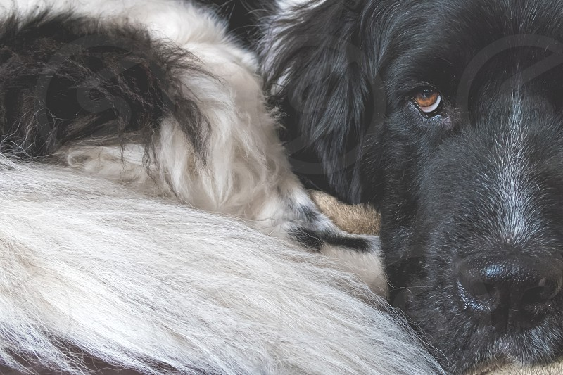 A landseer newfoundland dog  photo