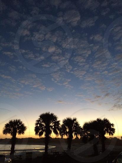 Fan palm trees photo