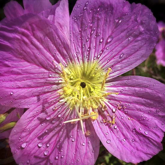 rain drops on pink and yellow flower photo