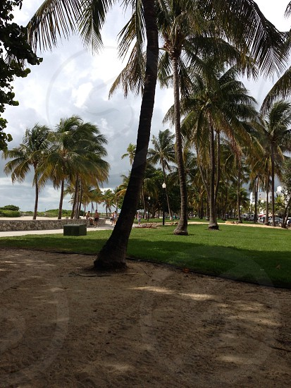 Miami Palm trees. USA  photo