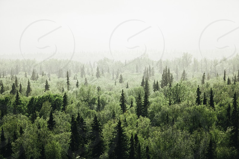 Foggy sunlit vista of evergreen and birch trees landscape nature  photo