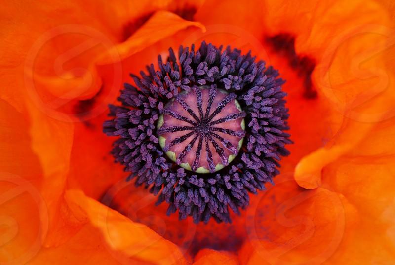 poppy flower poppy interior  photo