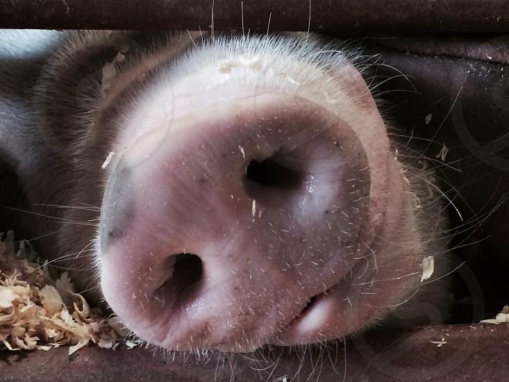 County fair pig snouts piggy photo