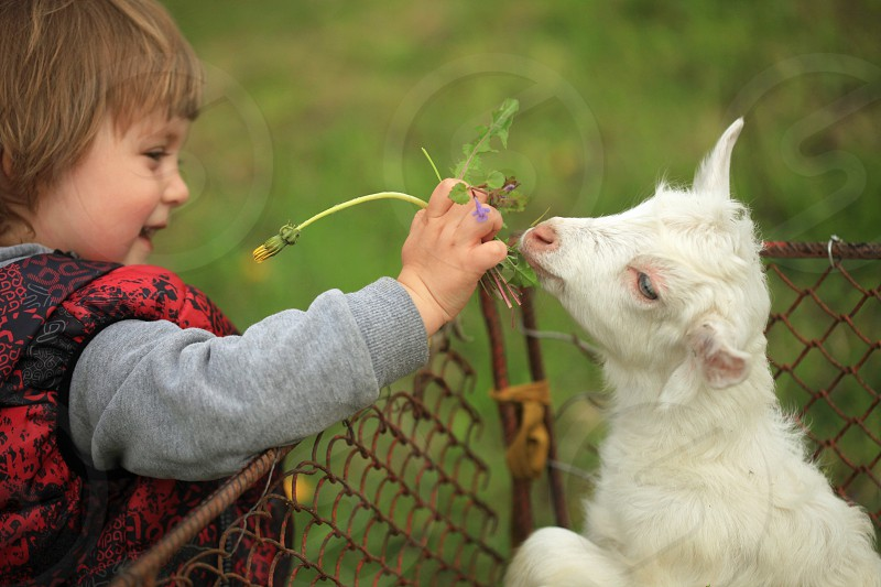 boy wearing gray sweater hand feeding white goat kid with green leaves photo