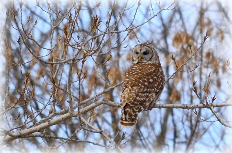 Barred owl photo