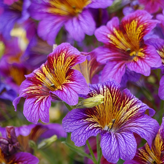 Flowers close-up vibrant color purple and yellow.  photo