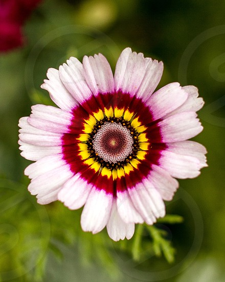 Close up of pink flower with purple and yellow inner circles against lush green. photo