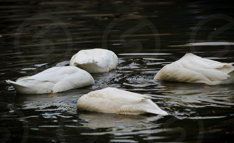 hide :)  ducks duck dive swim four  bird birds birding water fresh happy hiding photo