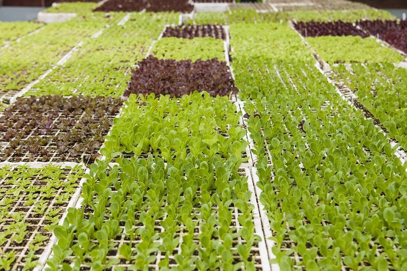 new seedlings lettuce starters farmer chef greenhouse food spring summer photo