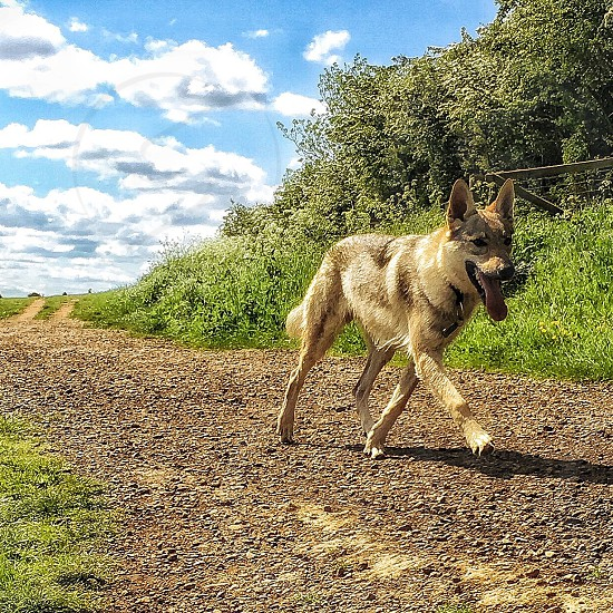 closeup photography of adult brown and gray Siberian husky walking on road near green grass field and trees under blue sky during daytime photo