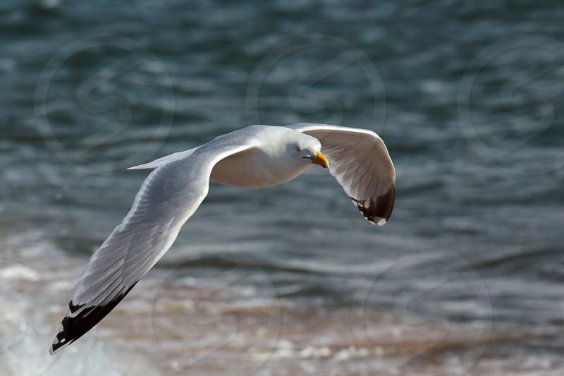 Common Gull (Larus canus) photo