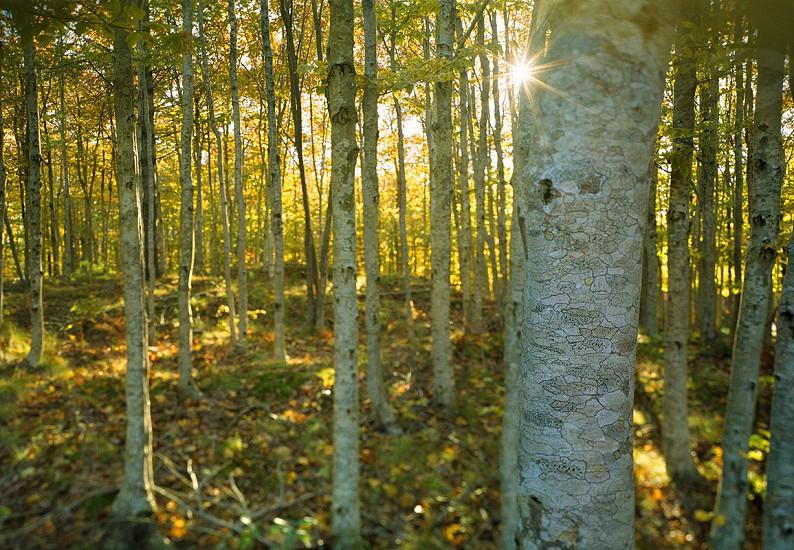 Beech trees beech grove beech forest. beech beeches photo