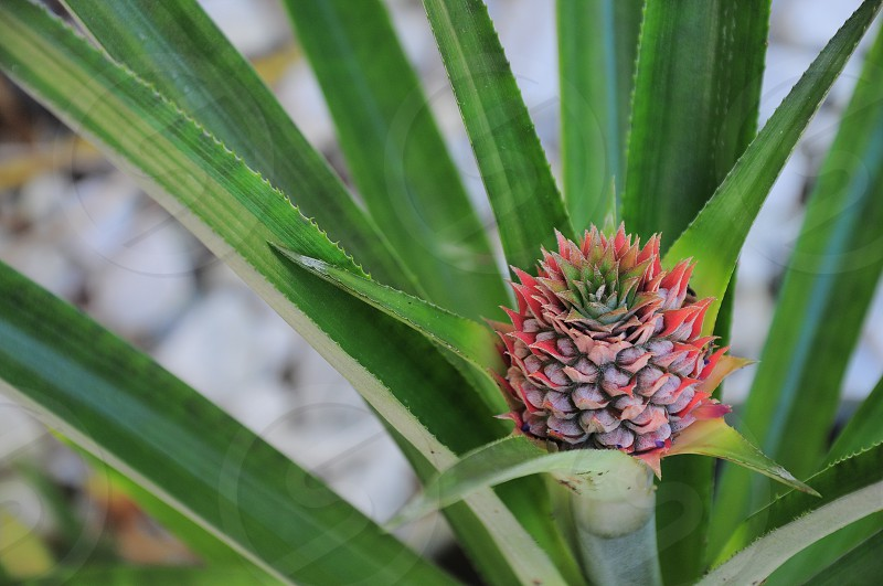 focus photography of green pineapple plant photo