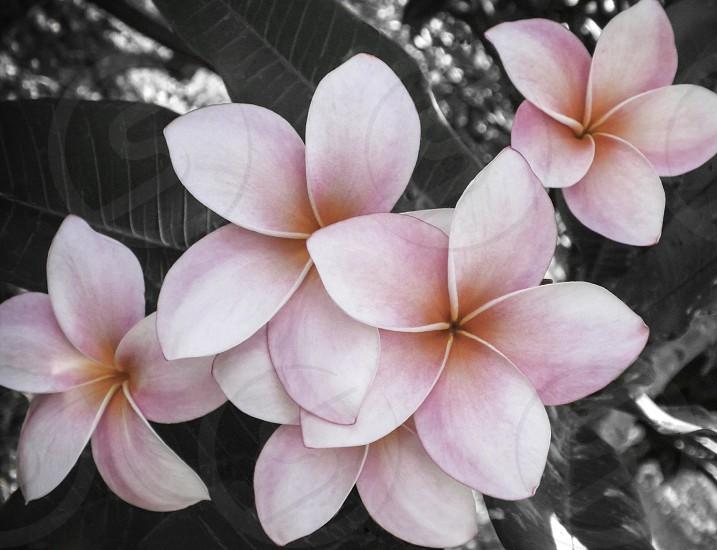 flower stars hawaii photo