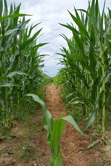 Closeup of green leaves in corn field photo