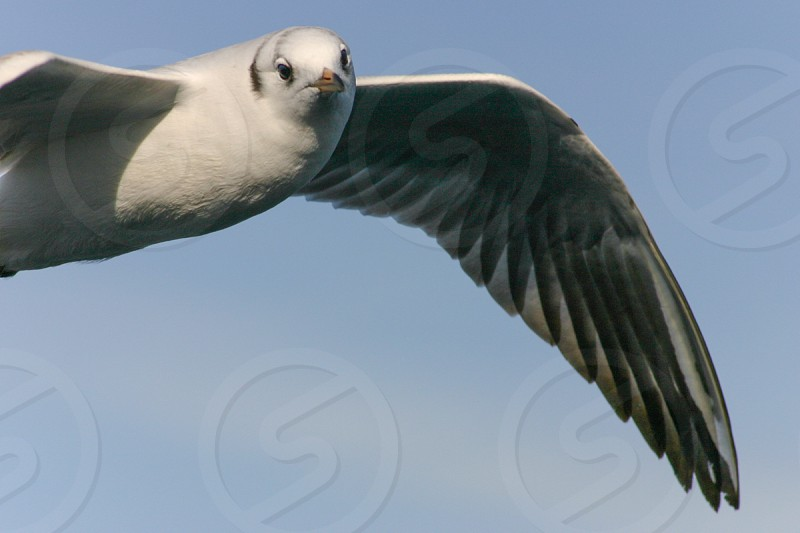 white pigeon flying photo
